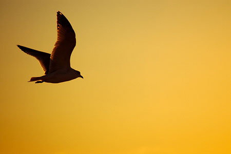 Gull in yet another effing sunset.